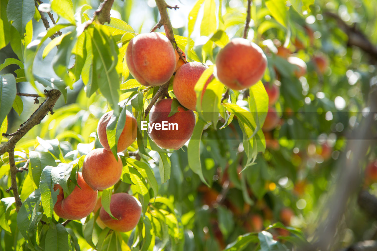 healthy eating, fruit, food and drink, food, growth, tree, wellbeing, plant, freshness, leaf, plant part, day, fruit tree, nature, agriculture, focus on foreground, no people, beauty in nature, green color, low angle view, ripe, outdoors, organic