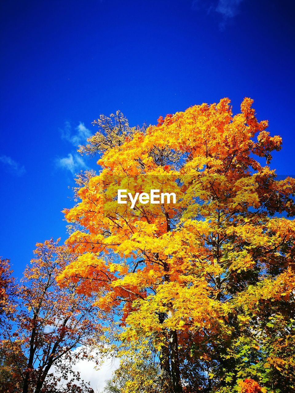 tree, autumn, low angle view, change, nature, growth, beauty in nature, no people, tranquility, day, outdoors, sky, blue, yellow, branch, clear sky, scenics, close-up