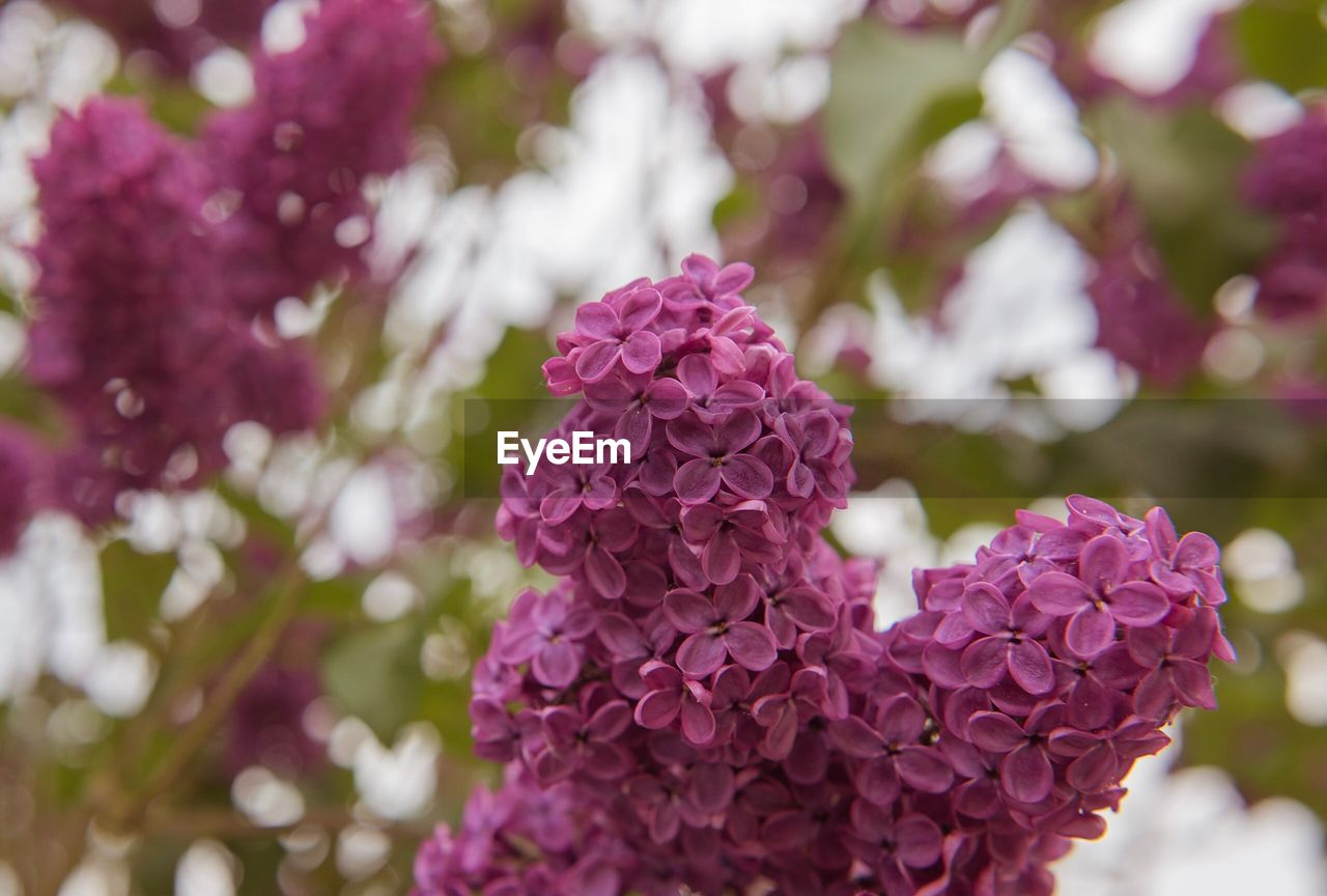 flowering plant, flower, plant, beauty in nature, vulnerability, fragility, growth, freshness, close-up, pink color, petal, focus on foreground, flower head, inflorescence, nature, day, purple, no people, botany, springtime, lilac, outdoors, bunch of flowers