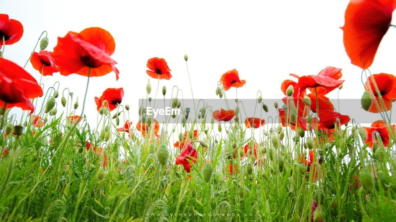 flower, nature, red, beauty in nature, petal, growth, plant, freshness, poppy, fragility, field, tulip, flower head, blooming, no people, spring, grass, day, outdoors, close-up, white background, sky