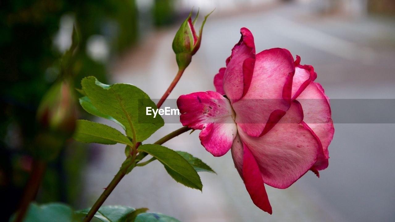 flower, beauty in nature, nature, petal, pink color, growth, fragility, focus on foreground, red, freshness, close-up, no people, leaf, flower head, day, outdoors, green color, plant, blooming, hibiscus