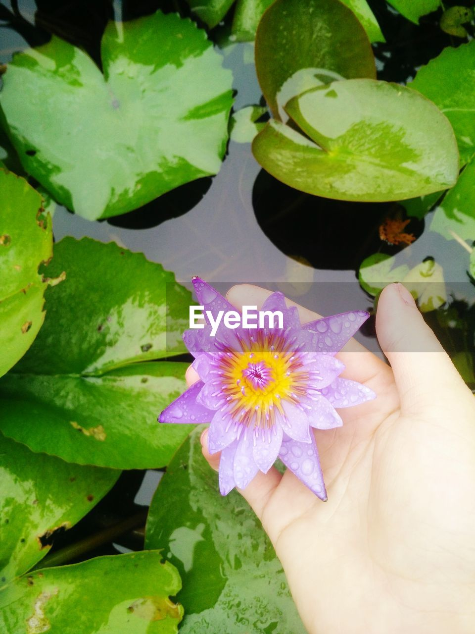 flower, freshness, leaf, beauty in nature, fragility, petal, close-up, nature, flower head, human hand, day, outdoors, plant, green color, growth, water lily, one person, human body part, real people, lotus water lily, water