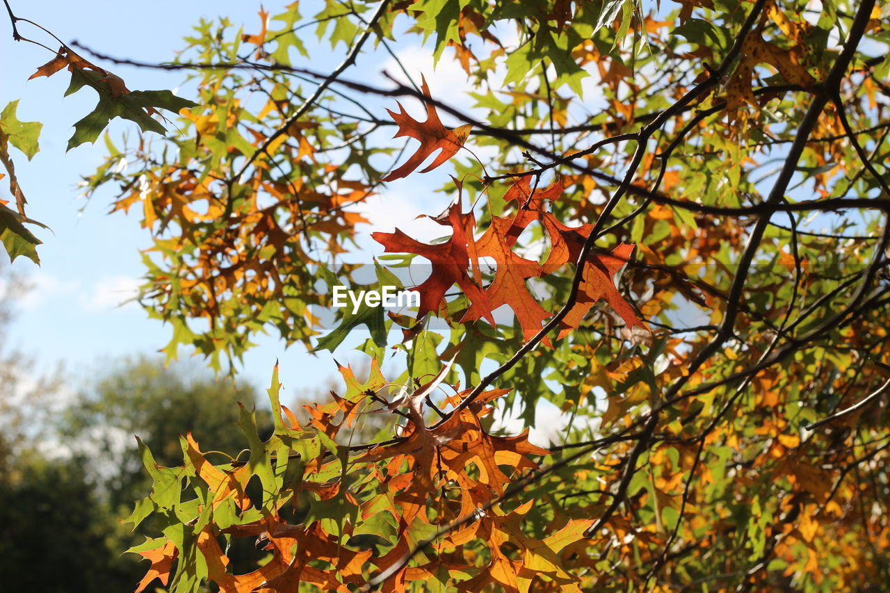 growth, plant, tree, beauty in nature, nature, branch, leaf, autumn, plant part, day, no people, change, orange color, close-up, focus on foreground, low angle view, outdoors, selective focus, food, vulnerability, maple leaf, leaves, rowanberry