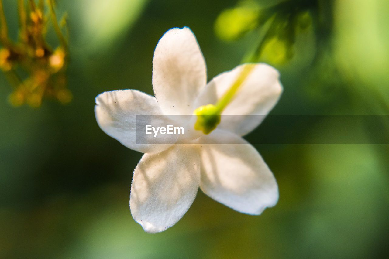 flower, flowering plant, plant, fragility, beauty in nature, vulnerability, petal, growth, close-up, freshness, inflorescence, flower head, no people, selective focus, white color, nature, focus on foreground, day, outdoors, pollen, springtime