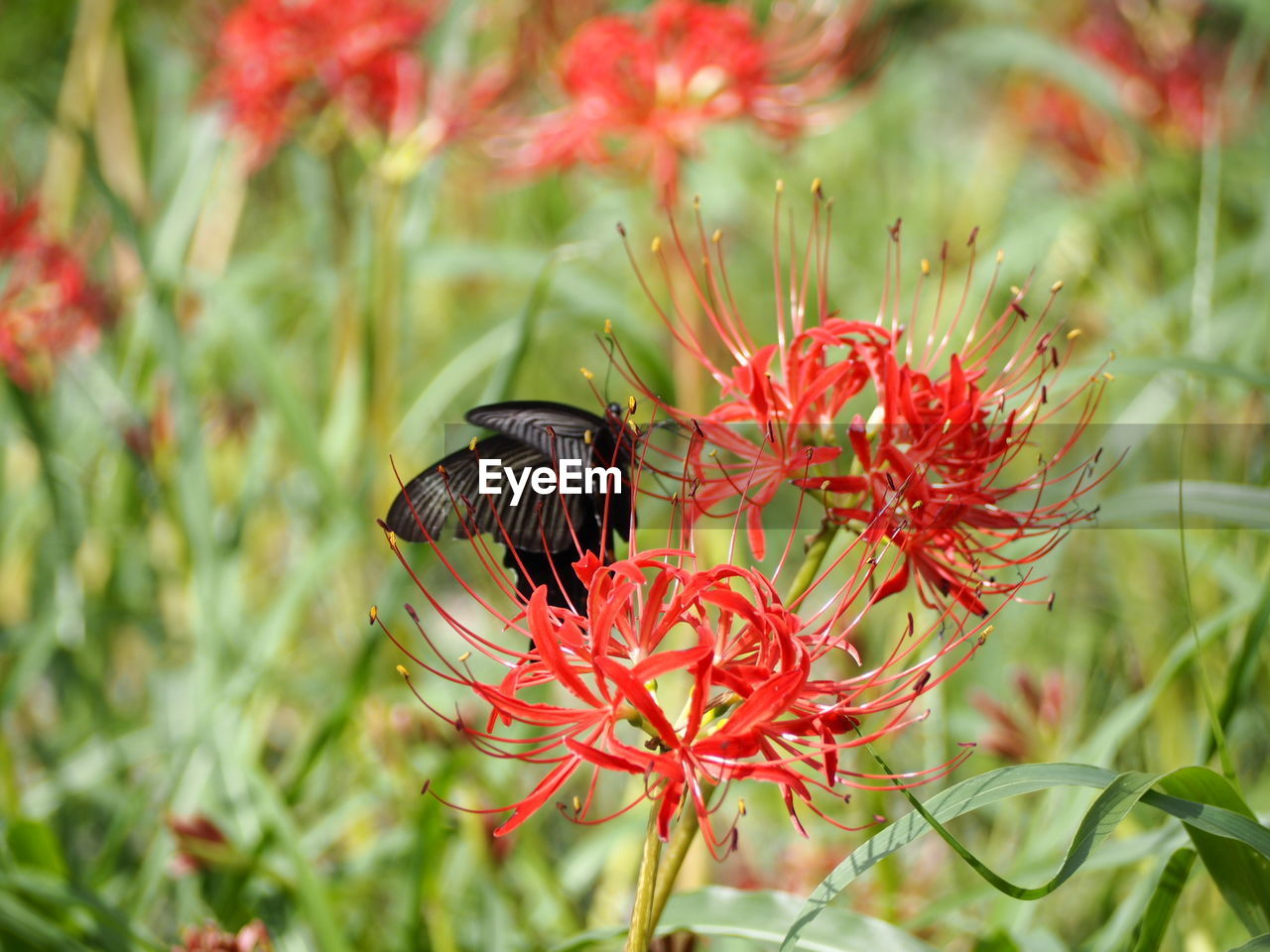 flower, flowering plant, invertebrate, plant, insect, beauty in nature, fragility, growth, vulnerability, one animal, animal wildlife, animals in the wild, animal themes, petal, freshness, animal, flower head, close-up, inflorescence, pollination, no people, pollen, animal wing, butterfly - insect