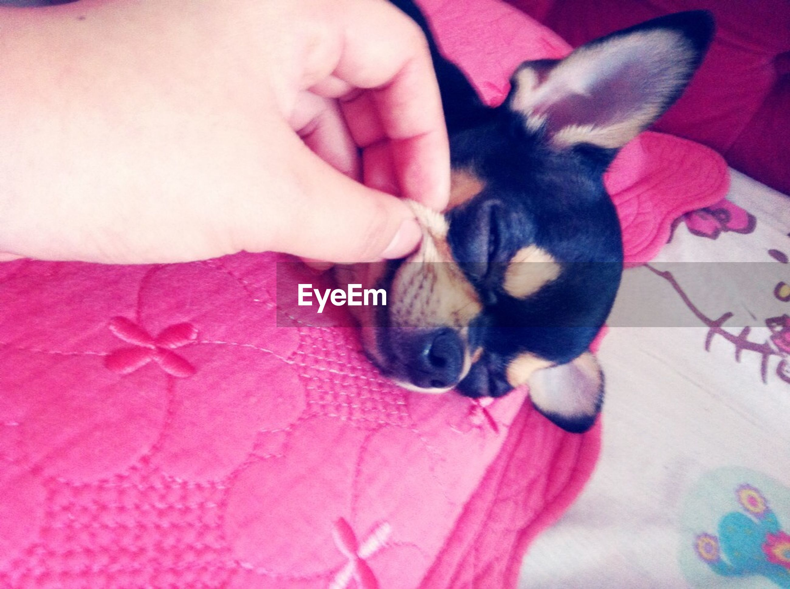 animal themes, one animal, pets, domestic animals, indoors, mammal, person, high angle view, dog, part of, young animal, bed, cute, close-up, holding, relaxation, innocence