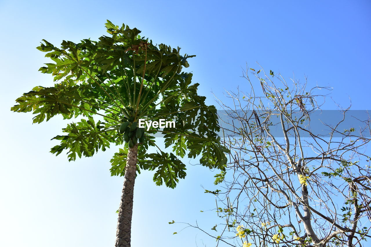 tree, sky, plant, low angle view, growth, clear sky, no people, beauty in nature, nature, branch, day, blue, green color, tranquility, outdoors, leaf, sunlight, plant part, scenics - nature, non-urban scene