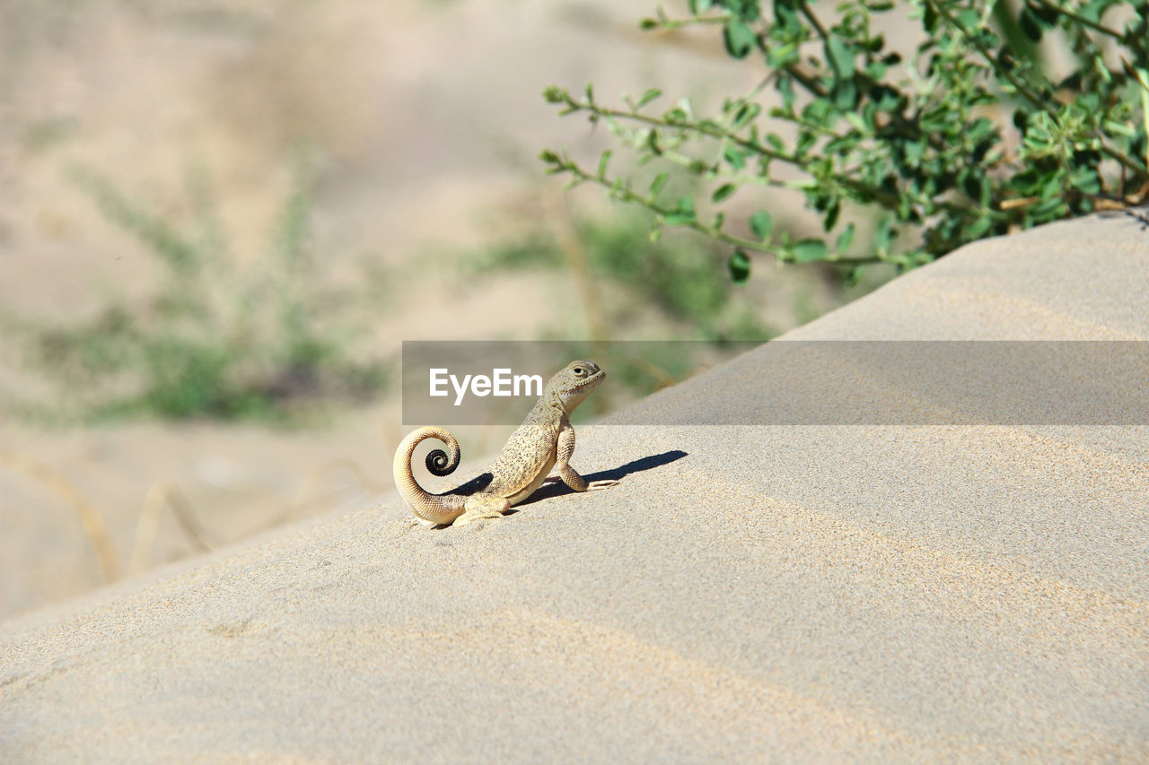 Lizard on a sand dune with a bush on a greasy summer day