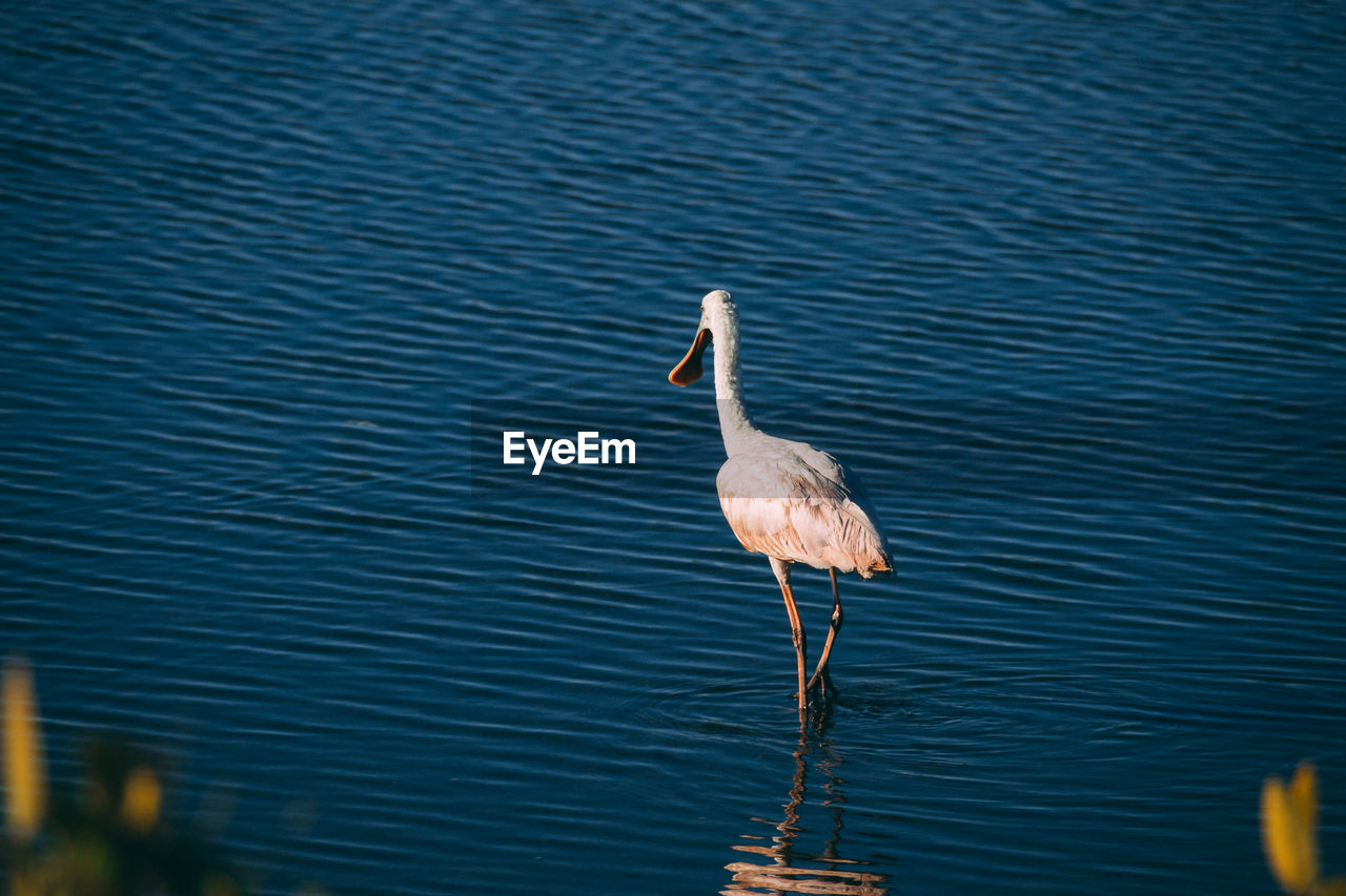 animal wildlife, animal themes, vertebrate, animal, animals in the wild, water, bird, one animal, lake, nature, no people, day, waterfront, outdoors, beauty in nature, rippled, focus on foreground, reflection, zoology, animal neck