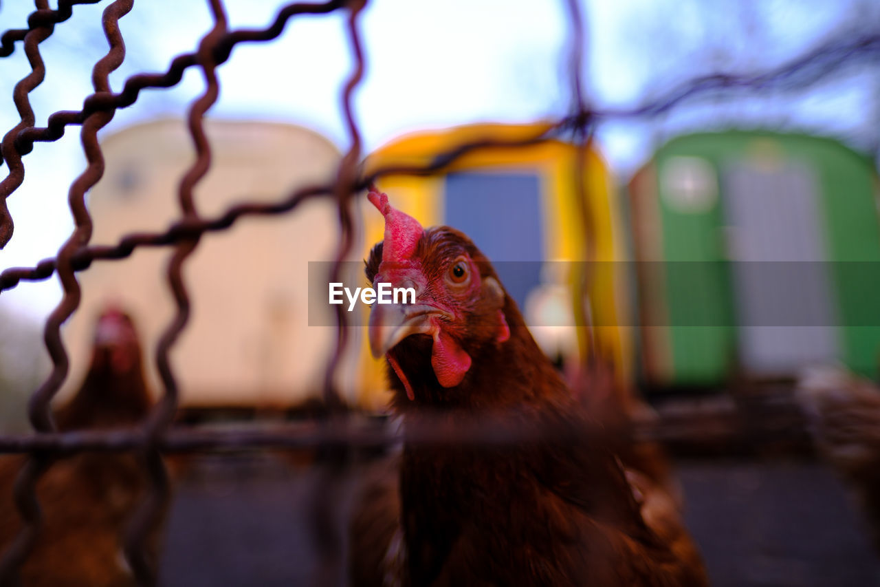 bird, animal, animal themes, vertebrate, livestock, domestic animals, chicken, pets, domestic, no people, selective focus, chicken - bird, mammal, close-up, one animal, focus on foreground, beak, hen, indoors, poultry, animal head