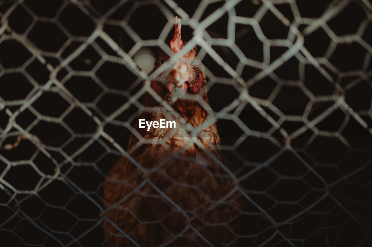 Close-Up Of Chicken In Cage