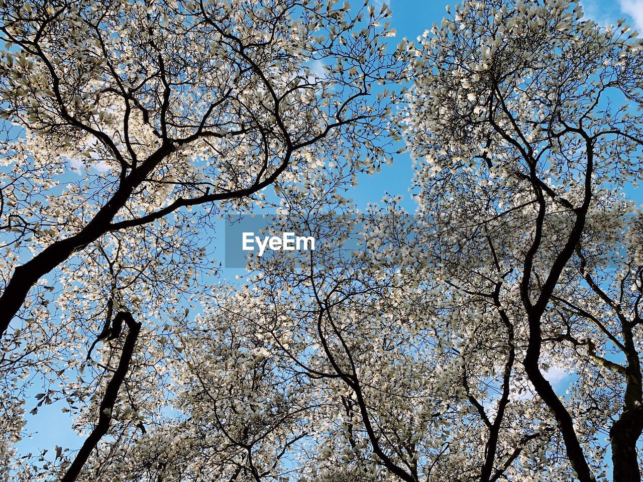 tree, low angle view, plant, sky, branch, beauty in nature, growth, nature, no people, day, backgrounds, flowering plant, outdoors, blue, flower, clear sky, full frame, tranquility, blossom, springtime, tree canopy, cherry blossom, directly below, spring