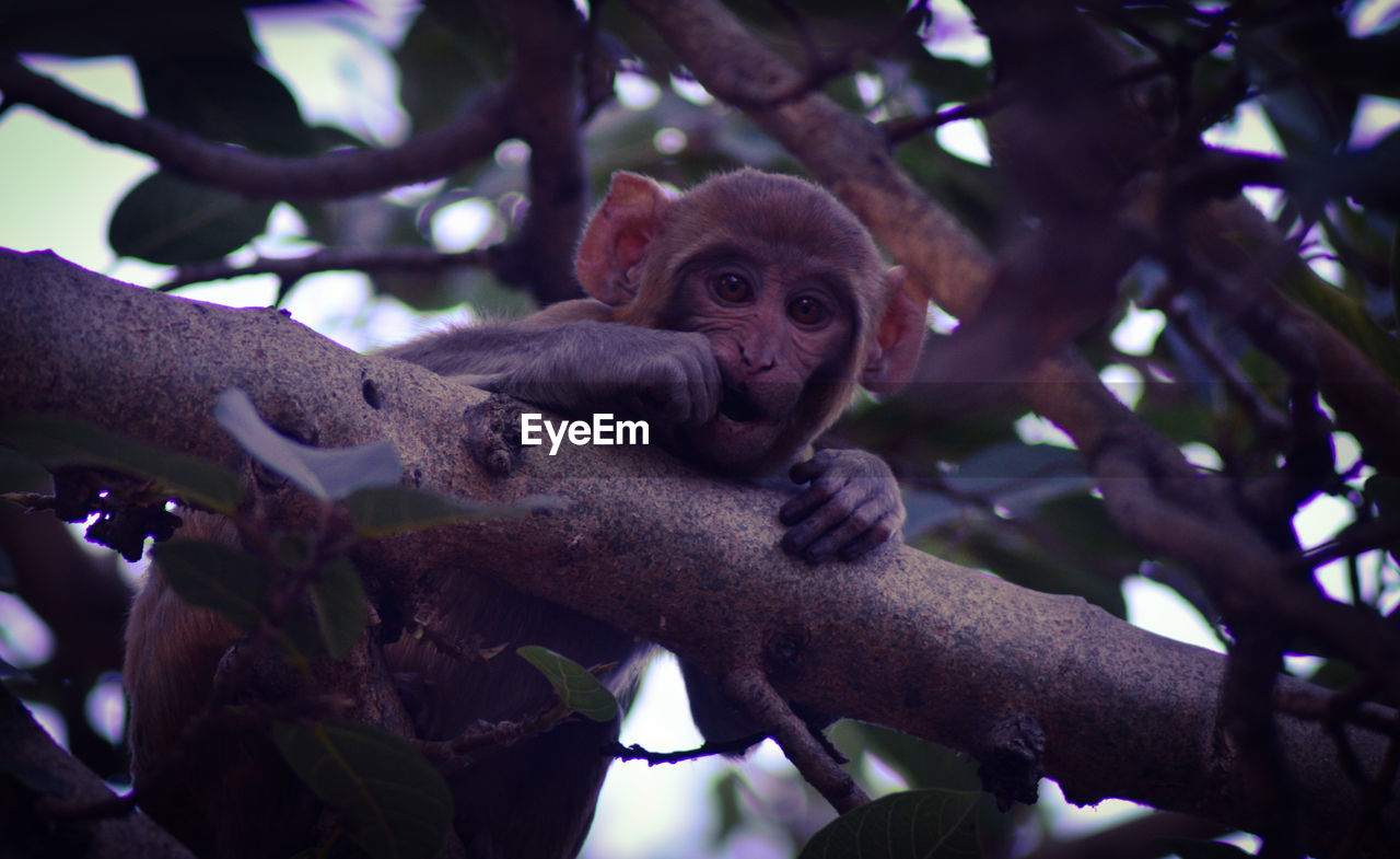 tree, animal, animal themes, mammal, animal wildlife, plant, primate, animals in the wild, branch, low angle view, vertebrate, one animal, monkey, nature, day, no people, sitting, focus on foreground, looking at camera, outdoors, animal family