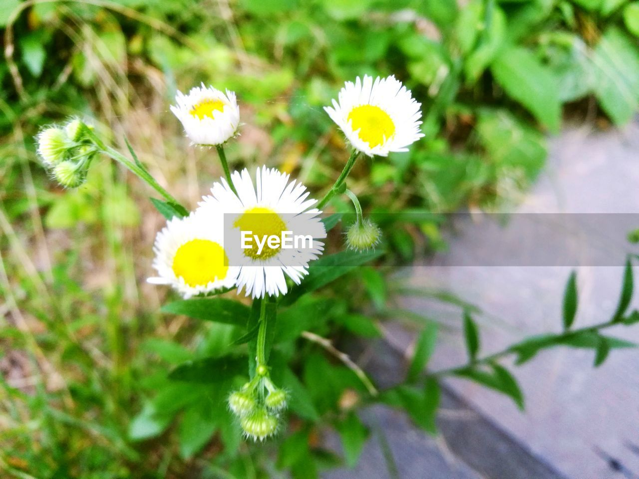 flower, growth, petal, fragility, nature, yellow, flower head, beauty in nature, white color, freshness, plant, day, outdoors, pollen, no people, blooming, close-up