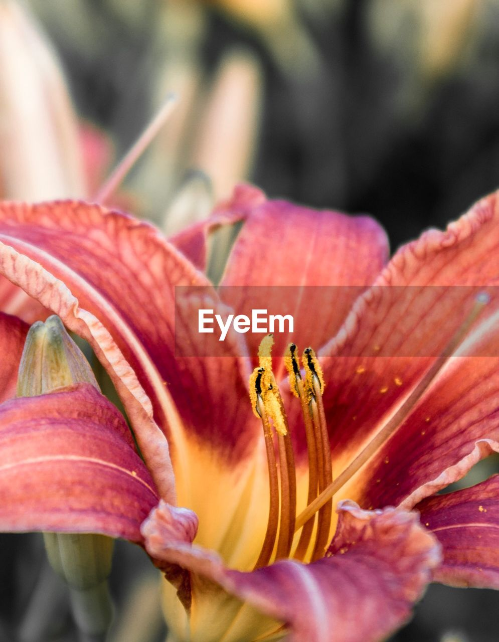 flower, flowering plant, vulnerability, petal, plant, fragility, beauty in nature, freshness, close-up, flower head, inflorescence, growth, pollen, lily, botany, stamen, day, selective focus, day lily, no people, outdoors, springtime