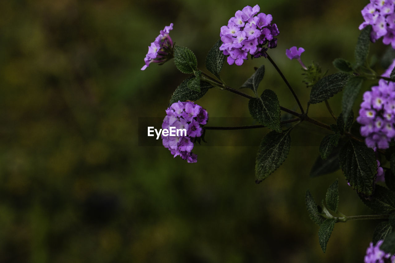 flower, flowering plant, plant, beauty in nature, fragility, vulnerability, growth, freshness, close-up, petal, nature, focus on foreground, purple, day, no people, plant part, flower head, leaf, pink color, inflorescence, outdoors, lantana, lilac