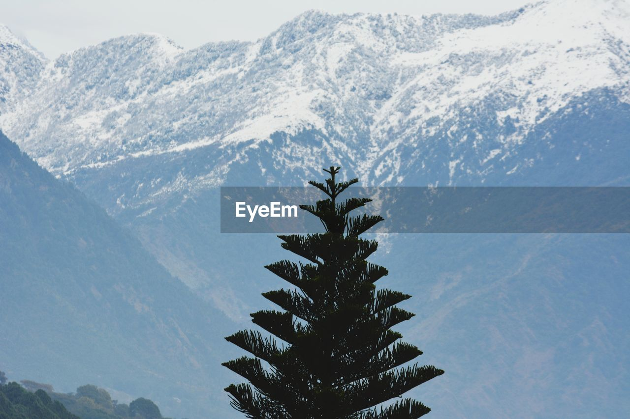 PINE TREE AGAINST SNOWCAPPED MOUNTAIN