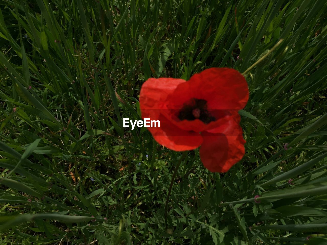 flower, red, growth, nature, petal, poppy, flower head, field, beauty in nature, grass, fragility, freshness, plant, blooming, no people, spring, outdoors, day, close-up