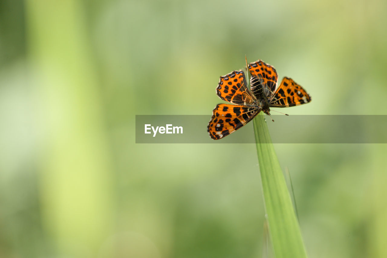 Close-up of map butterfly on grass