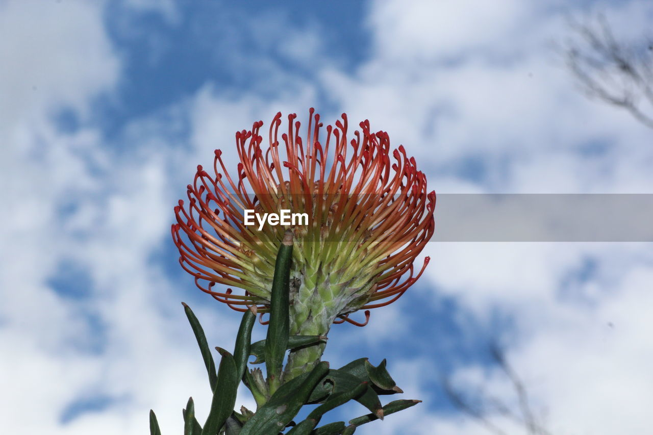 flower, sky, nature, growth, beauty in nature, plant, focus on foreground, fragility, cloud - sky, flower head, outdoors, day, freshness, green color, no people, close-up, red, blooming