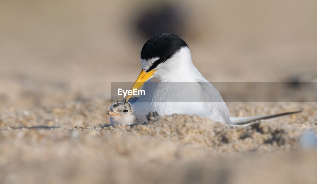 Close-up of tern with young bird on sand at beach