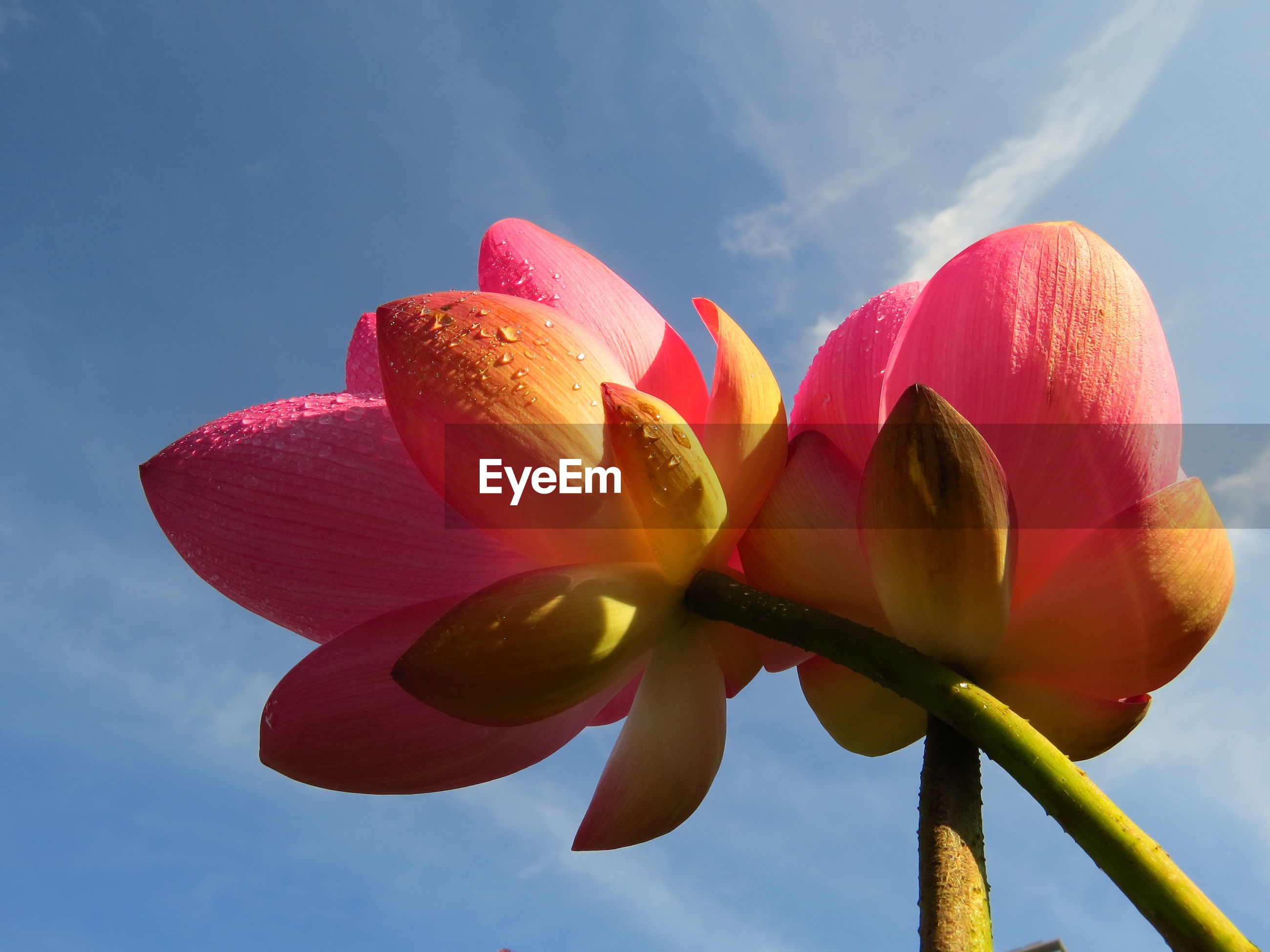Low angle view of pink tulip against sky