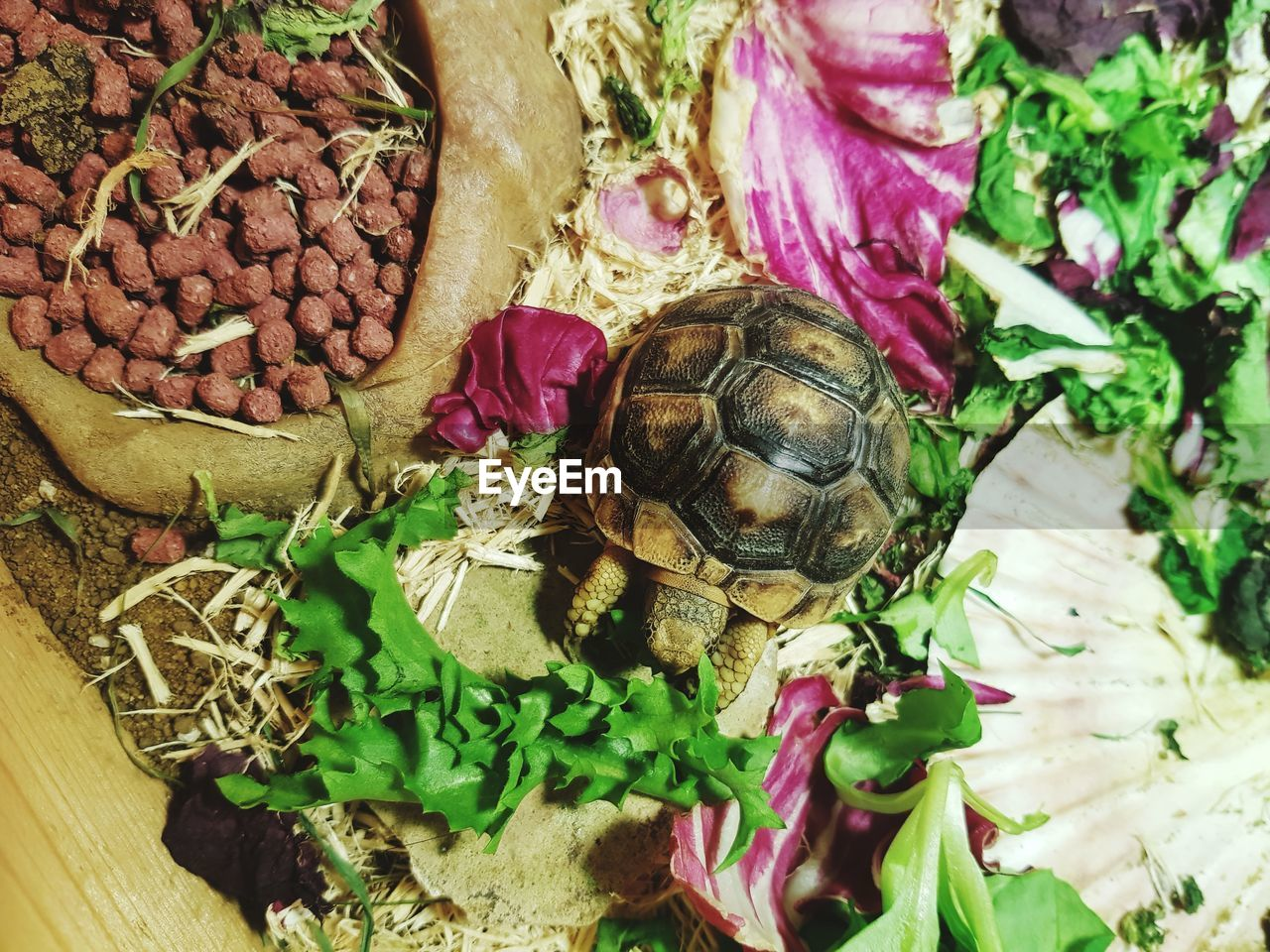turtle, animal wildlife, reptile, animal, animal themes, animals in the wild, food and drink, no people, close-up, vertebrate, freshness, high angle view, food, nature, vegetable, group of animals, plant, shell, healthy eating, common beet