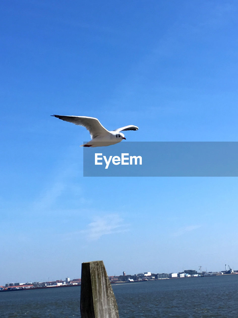 vertebrate, flying, animals in the wild, animal wildlife, animal themes, water, bird, animal, one animal, spread wings, sky, sea, nature, blue, mid-air, seagull, day, no people, motion, wooden post