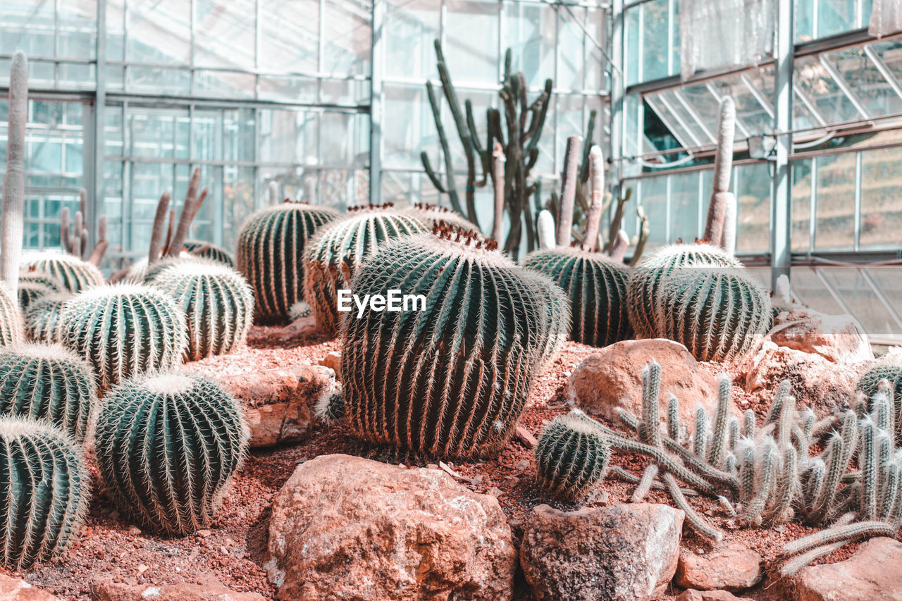 indoors, greenhouse, day, no people, cactus, nature, plant, succulent plant, growth, beauty in nature, large group of objects, close-up, abundance, plant nursery, focus on foreground, pattern, botany, barrel cactus, stack