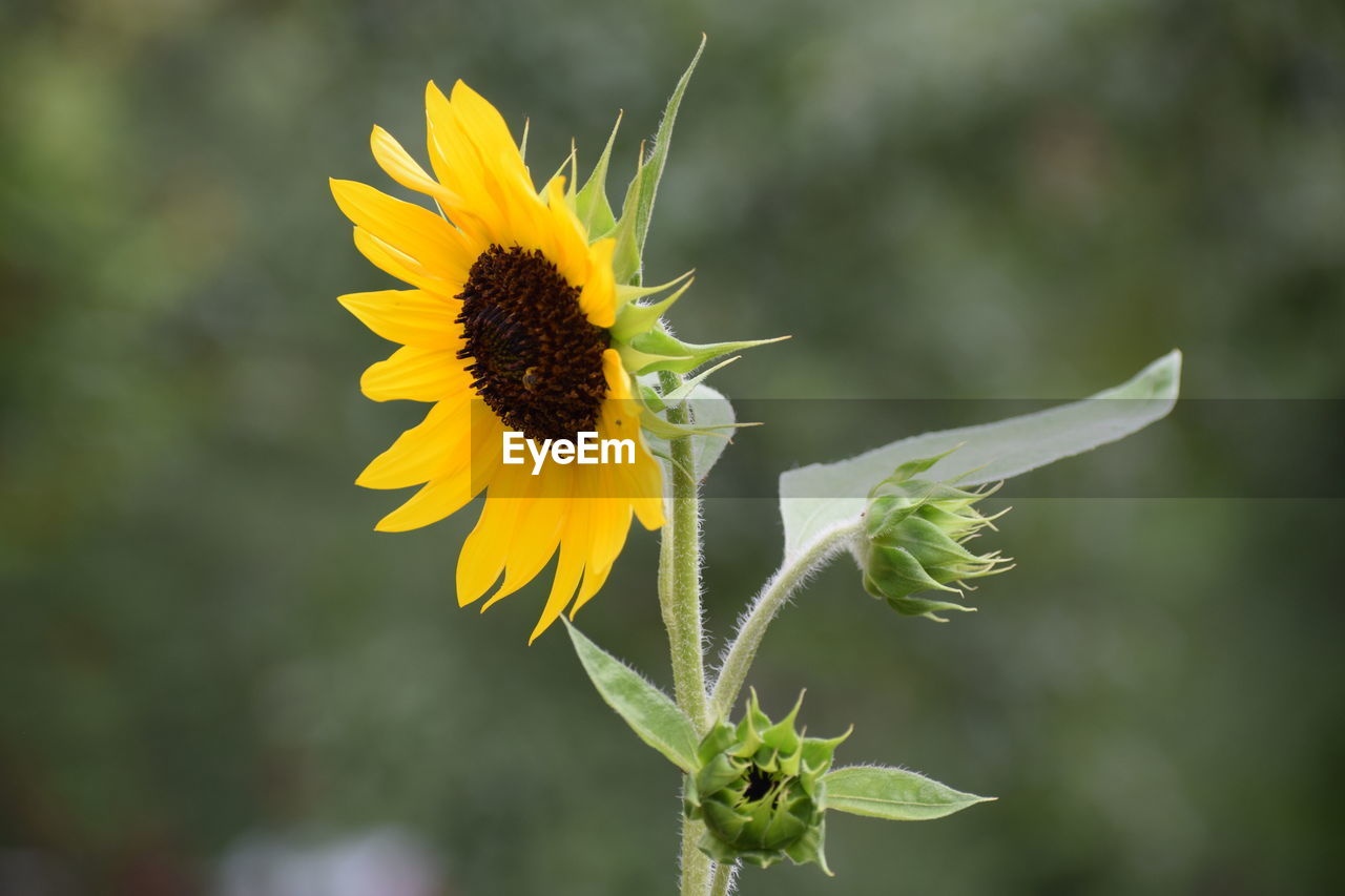 flower, yellow, fragility, growth, petal, nature, plant, flower head, beauty in nature, freshness, sunflower, outdoors, focus on foreground, close-up, no people, day, blooming