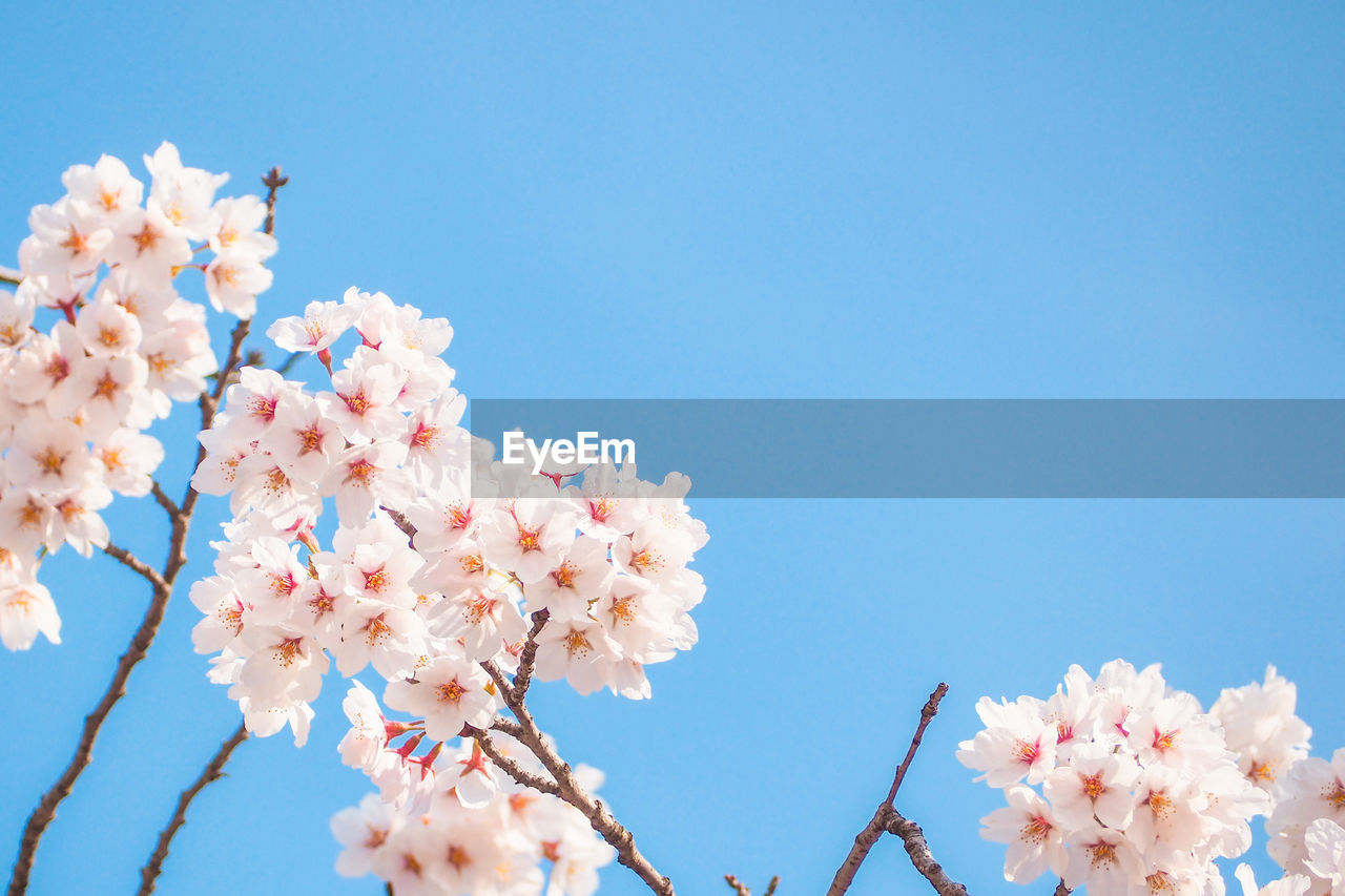 flowering plant, flower, plant, fragility, vulnerability, growth, freshness, beauty in nature, sky, blossom, low angle view, tree, nature, petal, pink color, springtime, clear sky, branch, day, copy space, cherry blossom, no people, flower head, cherry tree, outdoors, bunch of flowers