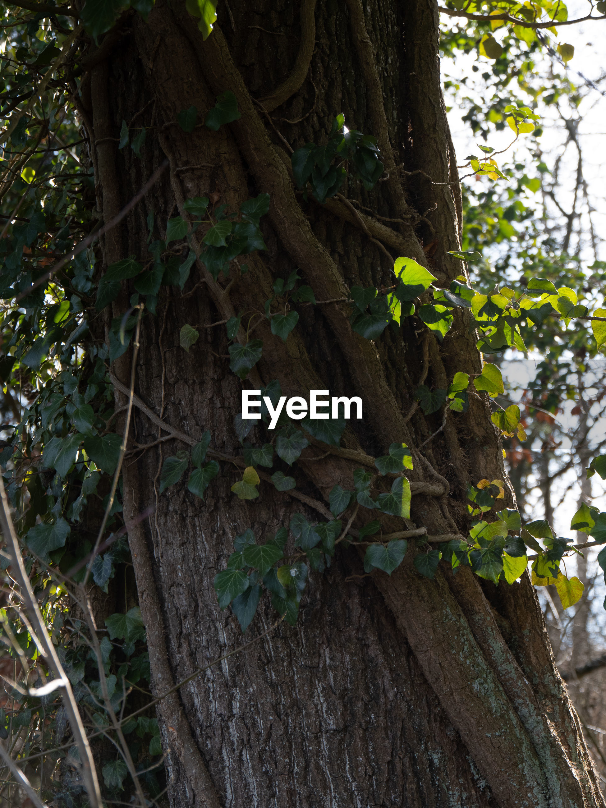 LOW ANGLE VIEW OF IVY GROWING ON TREE TRUNK