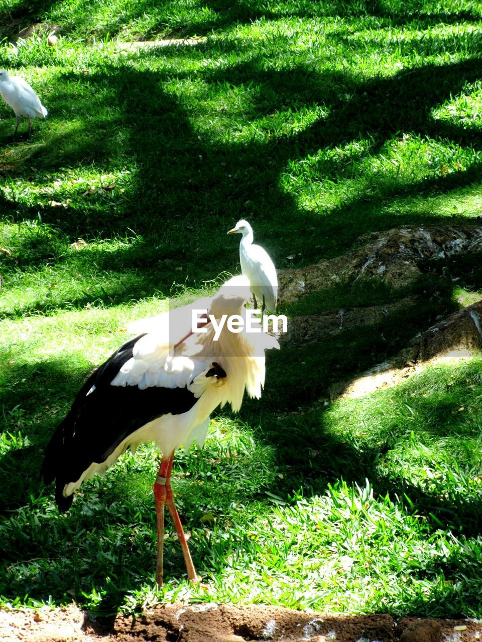 animal themes, bird, animals in the wild, one animal, animal wildlife, grass, nature, green color, no people, sunlight, day, outdoors, stork, white stork, beauty in nature, crane - bird, perching