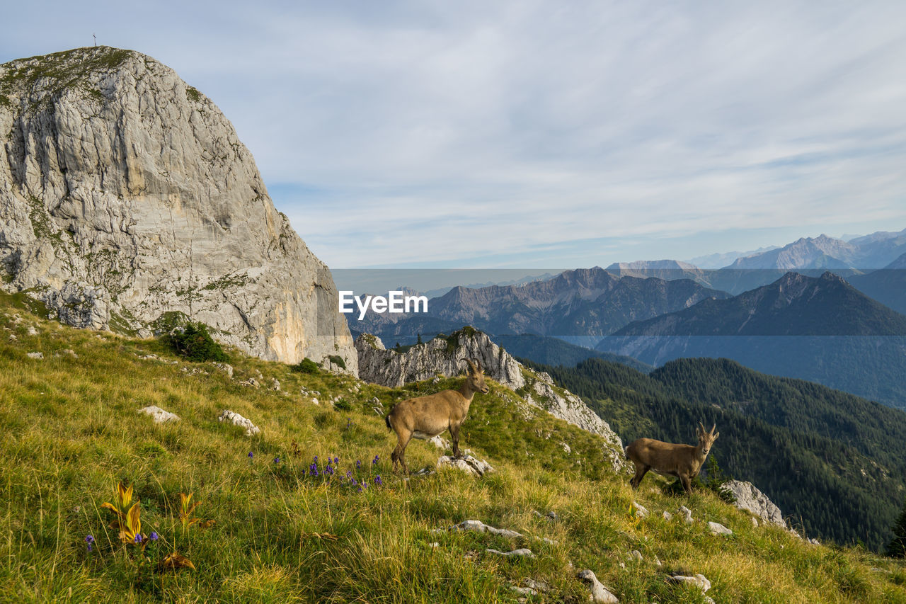 mountain, mammal, sky, animal, grass, animal themes, domestic animals, beauty in nature, environment, land, scenics - nature, domestic, mountain range, plant, nature, pets, landscape, livestock, tranquil scene, non-urban scene, no people, outdoors, herbivorous