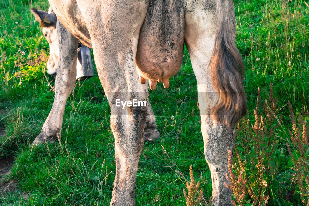 Rear View Of Cow Grazing On Grassy Field
