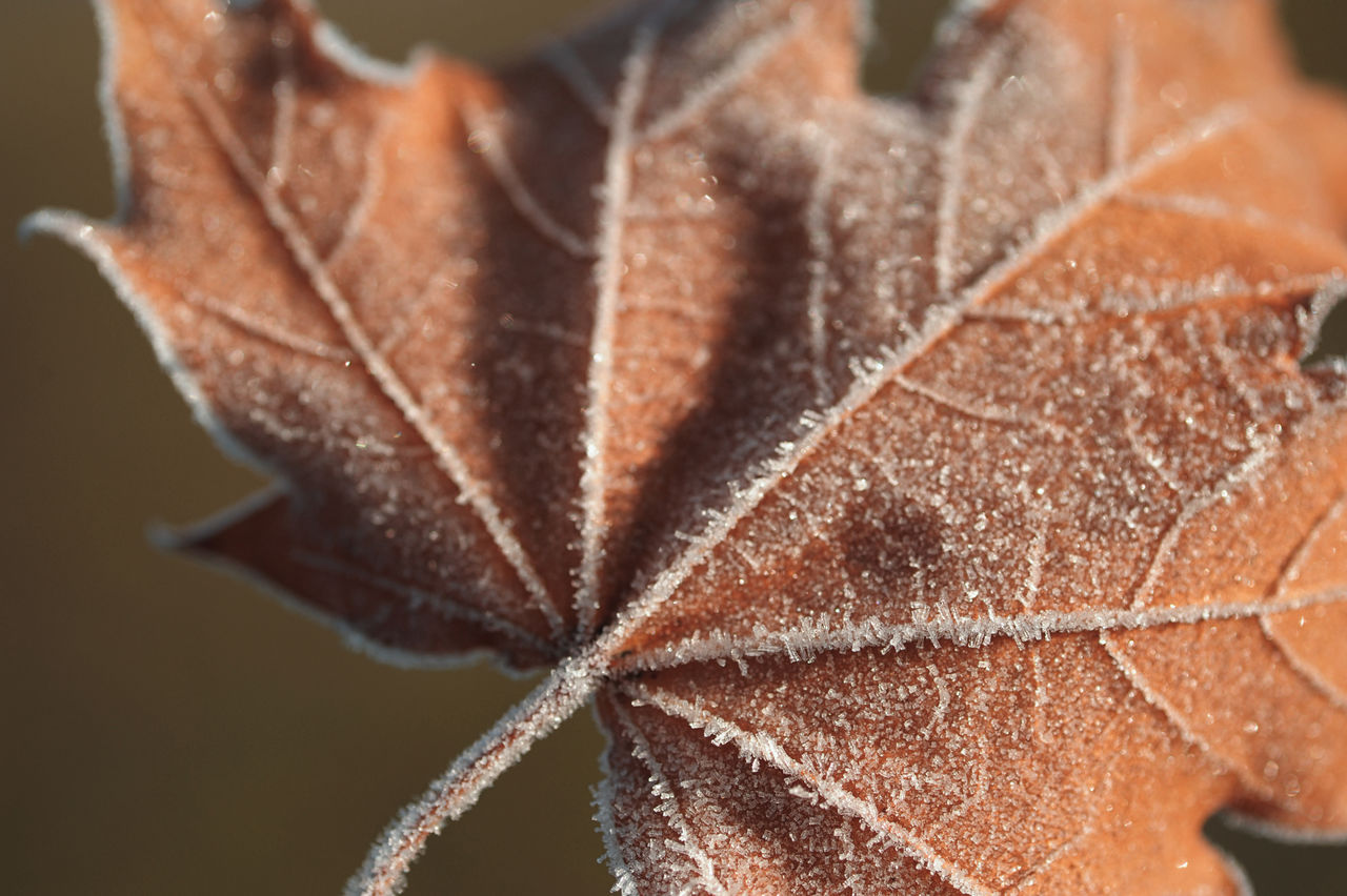 leaf, close-up, autumn, nature, no people, change, maple, maple leaf, beauty in nature, day, outdoors, fragility, freshness