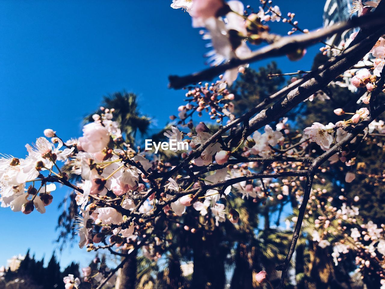 plant, tree, flowering plant, fragility, low angle view, blossom, flower, beauty in nature, growth, branch, vulnerability, freshness, sky, springtime, nature, focus on foreground, day, cherry blossom, close-up, no people, cherry tree, outdoors, flower head, spring
