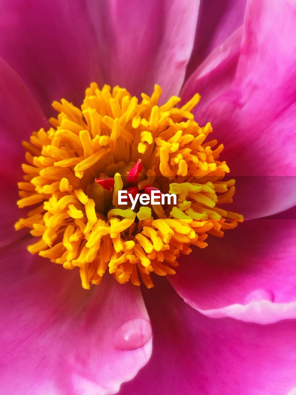 flower, flowering plant, petal, vulnerability, fragility, freshness, flower head, inflorescence, beauty in nature, plant, close-up, pollen, growth, nature, pink color, extreme close-up, yellow, no people, day