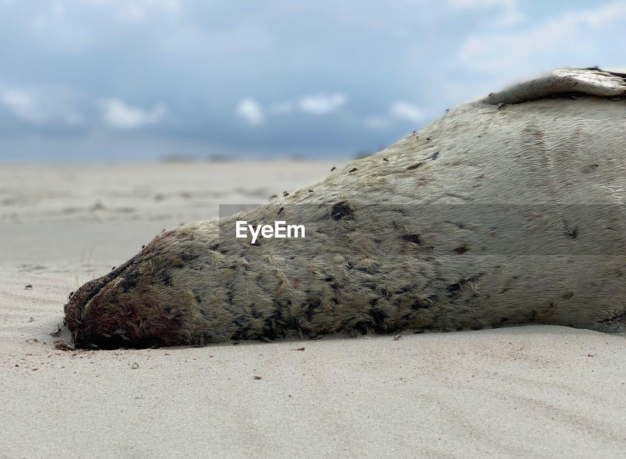 CLOSE-UP OF A SLEEPING ANIMAL ON BEACH