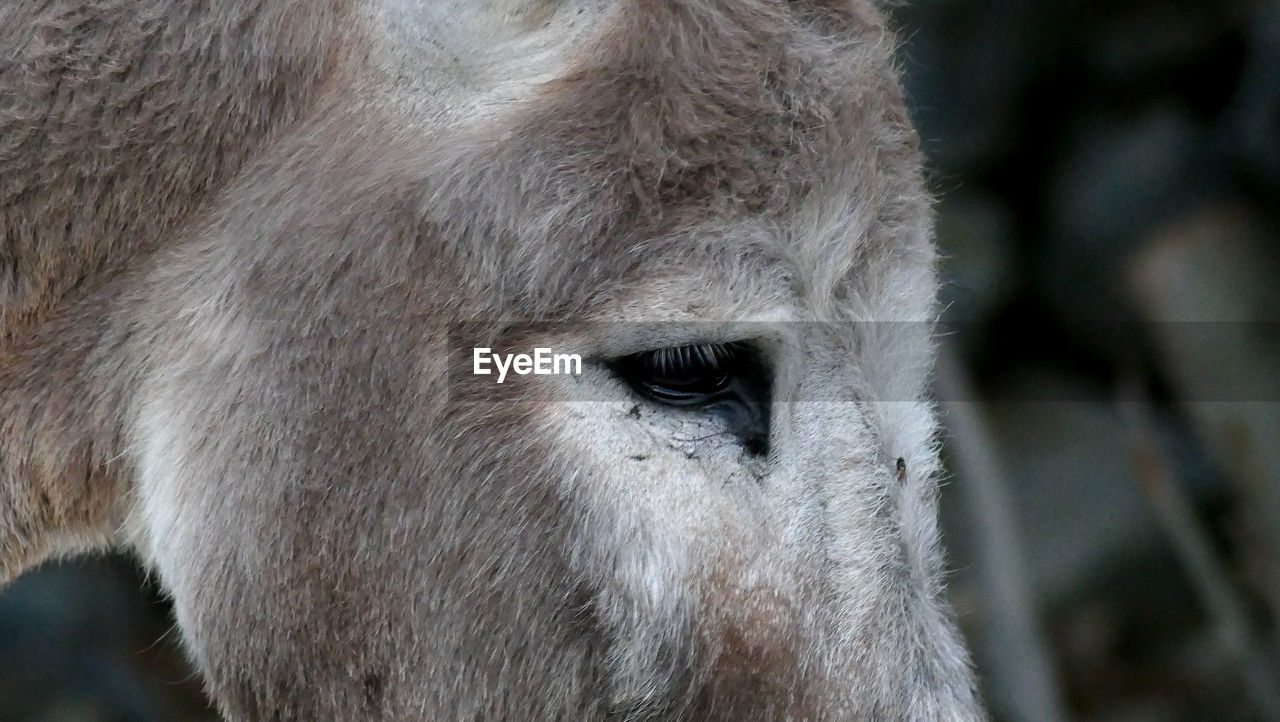 one animal, animal themes, close-up, animal head, mammal, animal wildlife, animals in the wild, animal hair, animal body part, focus on foreground, livestock, outdoors, day, no people, domestic animals, nature, portrait