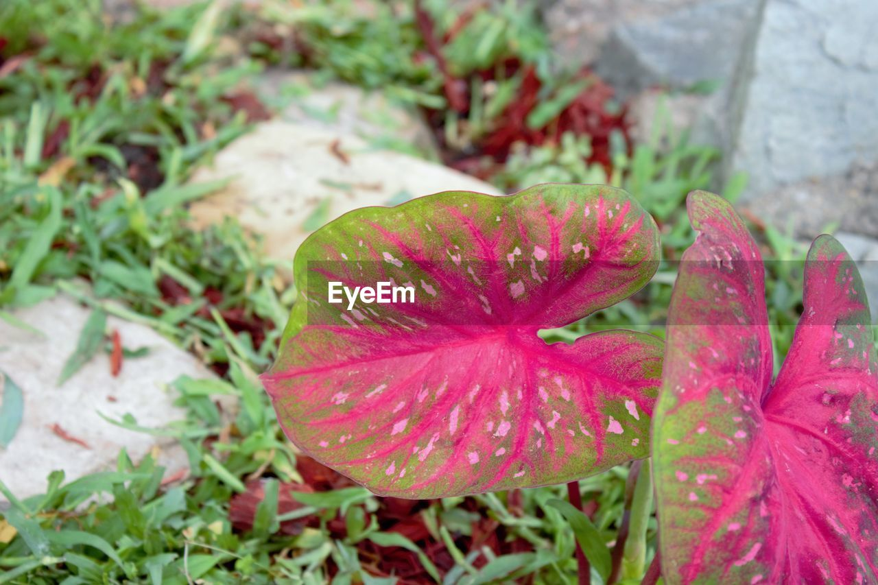 nature, water, no people, plant, growth, pink color, fragility, close-up, flower, leaf, beauty in nature, day, focus on foreground, outdoors, red, freshness, flower head