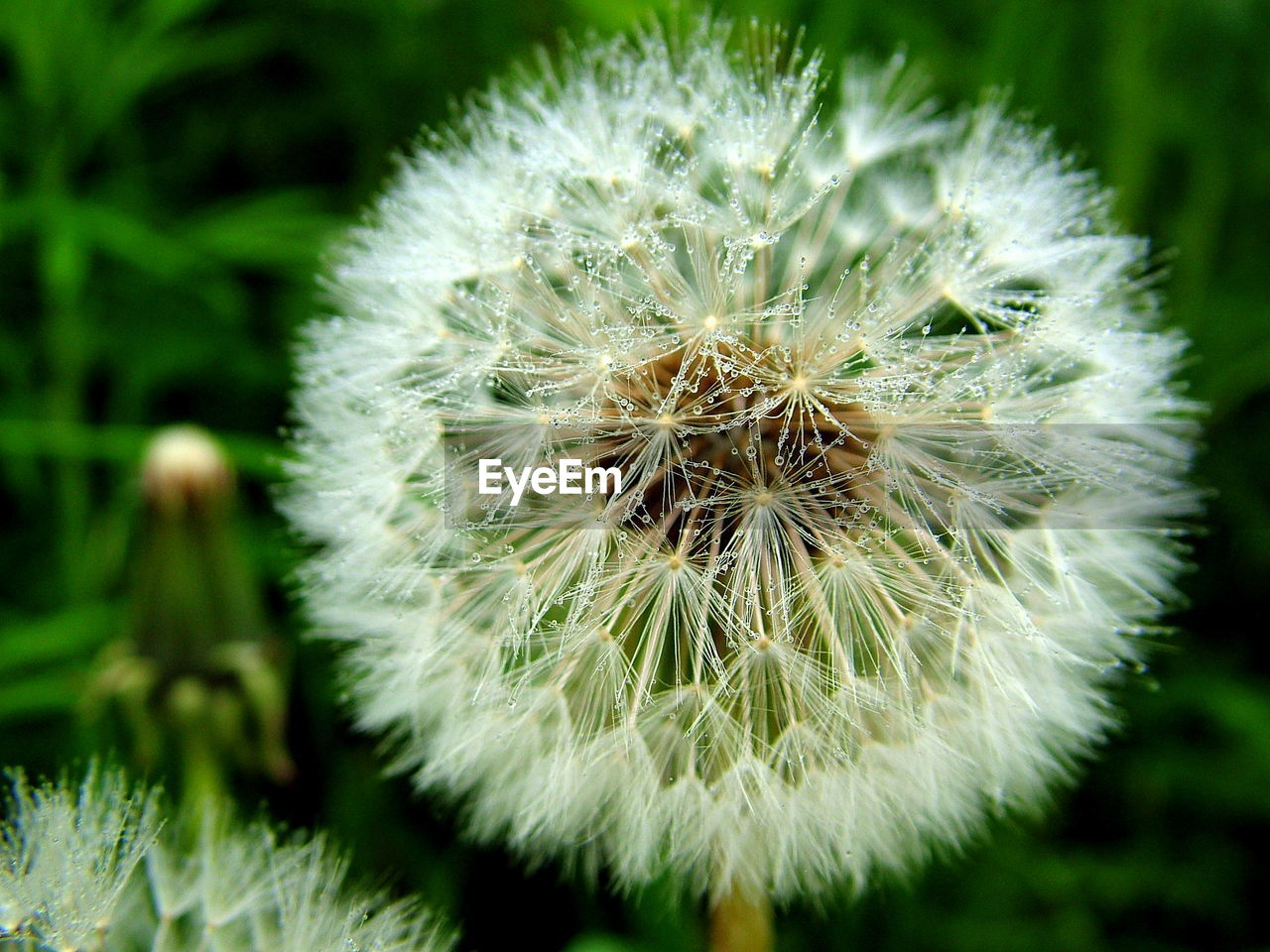 dandelion, plant, vulnerability, fragility, close-up, flower, freshness, focus on foreground, flowering plant, growth, beauty in nature, inflorescence, nature, no people, flower head, white color, day, outdoors, softness, green color, dandelion seed