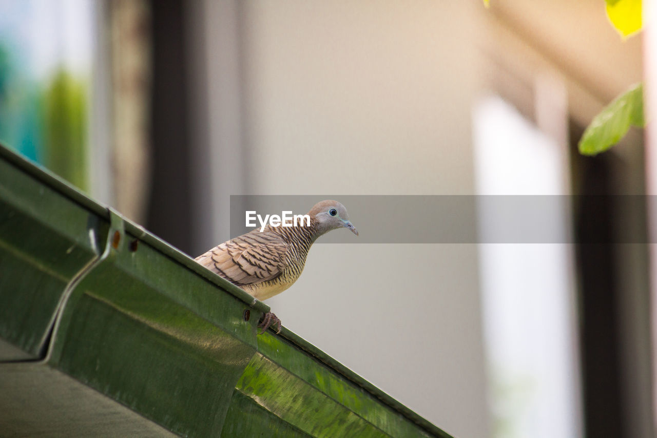 animal themes, vertebrate, bird, animal, animals in the wild, animal wildlife, one animal, perching, focus on foreground, day, no people, green color, close-up, sparrow, side view, selective focus, outdoors, nature, mourning dove, architecture