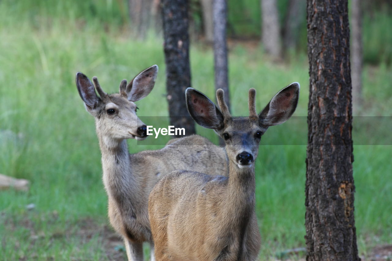 animal, animal themes, animals in the wild, mammal, animal wildlife, deer, land, vertebrate, group of animals, plant, day, no people, herbivorous, field, focus on foreground, portrait, nature, tree, looking at camera, outdoors, animal head