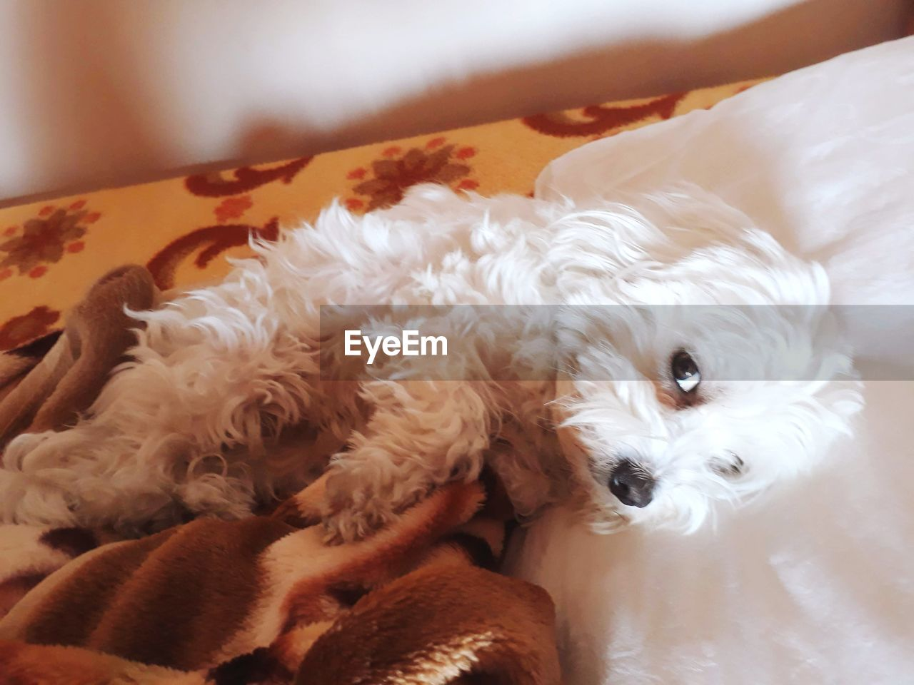 domestic, canine, dog, pets, domestic animals, mammal, one animal, animal themes, animal, vertebrate, indoors, no people, relaxation, white color, home interior, close-up, animal hair, portrait, furniture, bed