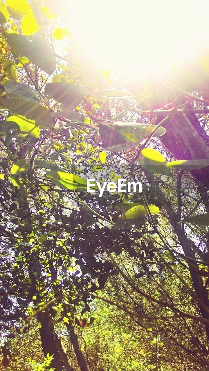 sunlight, lens flare, nature, tree, growth, sunbeam, sun, beauty in nature, branch, no people, outdoors, day, low angle view, freshness, tranquility, leaf, fragility, close-up