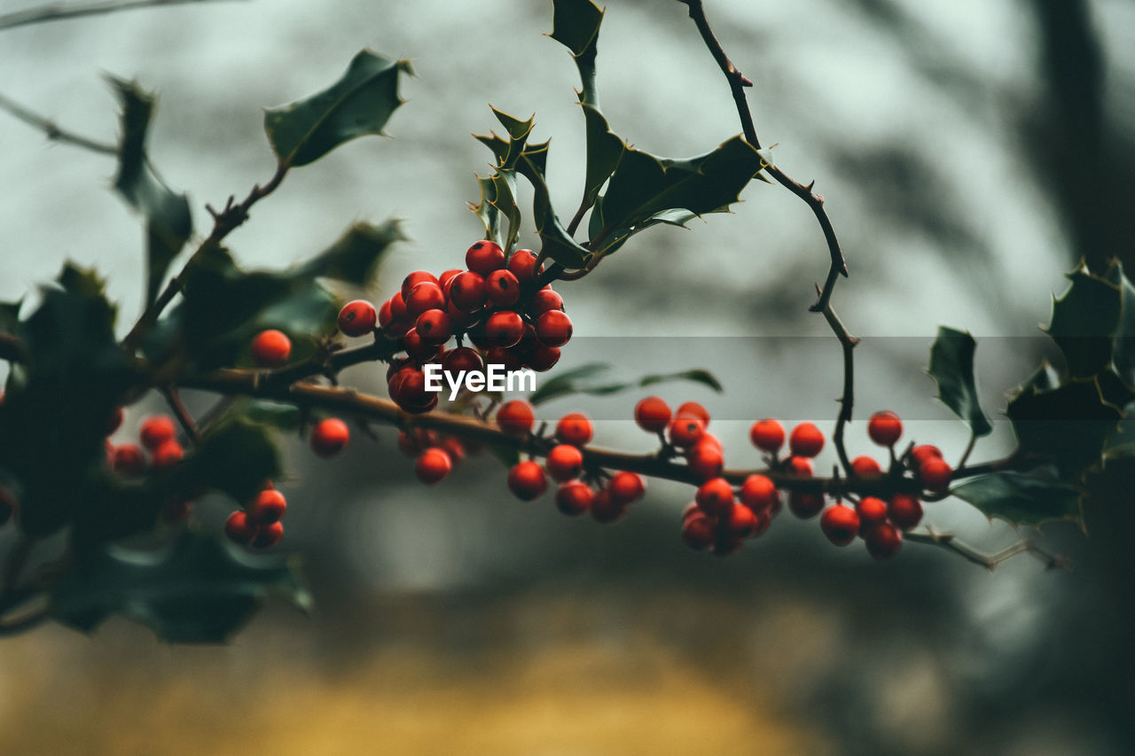 food and drink, fruit, food, growth, healthy eating, berry fruit, tree, plant, focus on foreground, red, close-up, nature, no people, freshness, leaf, day, plant part, selective focus, branch, beauty in nature, rowanberry, outdoors, ripe