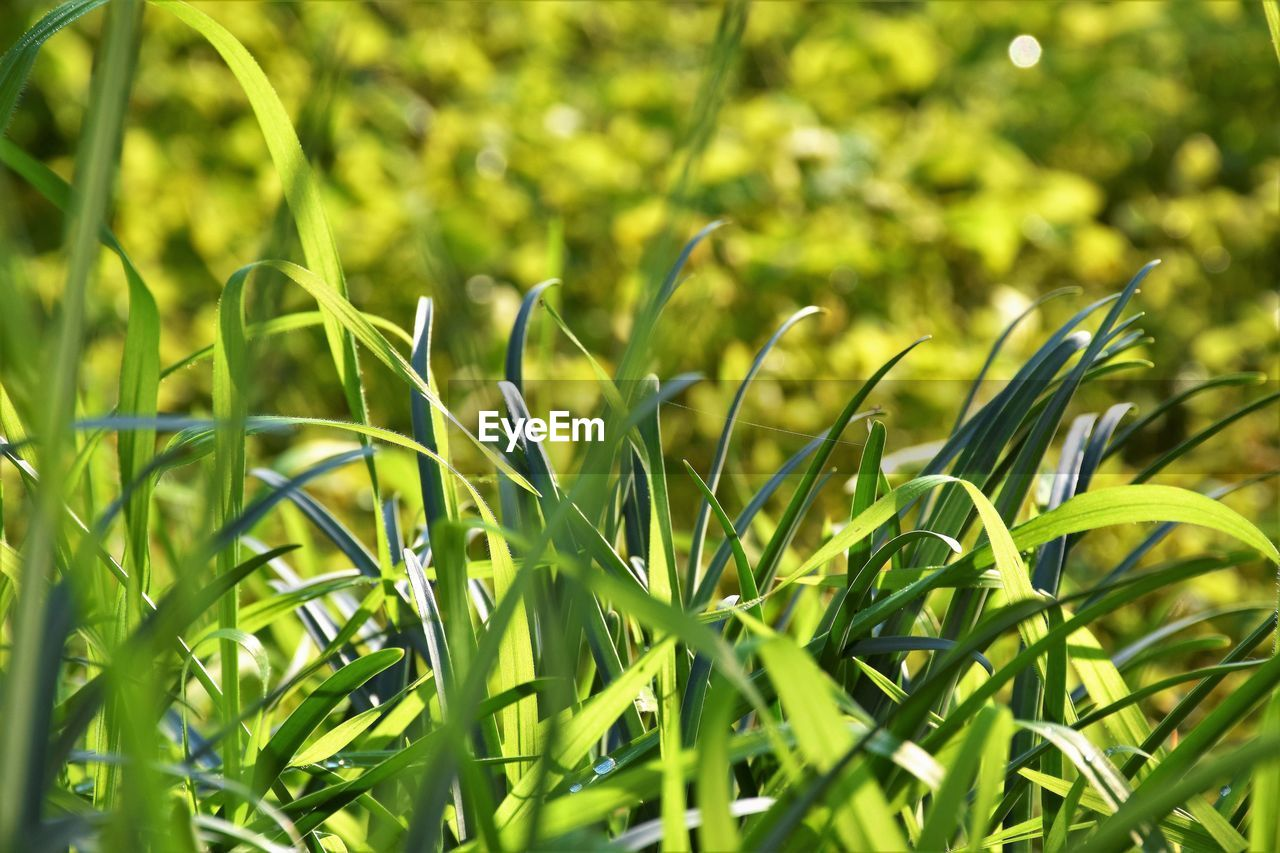 green color, growth, plant, beauty in nature, close-up, nature, selective focus, day, no people, grass, land, field, tranquility, focus on foreground, outdoors, plant part, full frame, leaf, freshness, sunlight, blade of grass