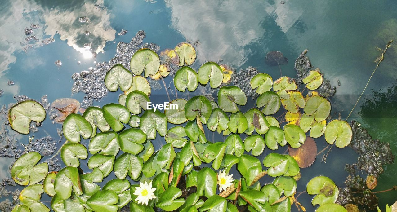 High Angle View Of Water Lily In Pond