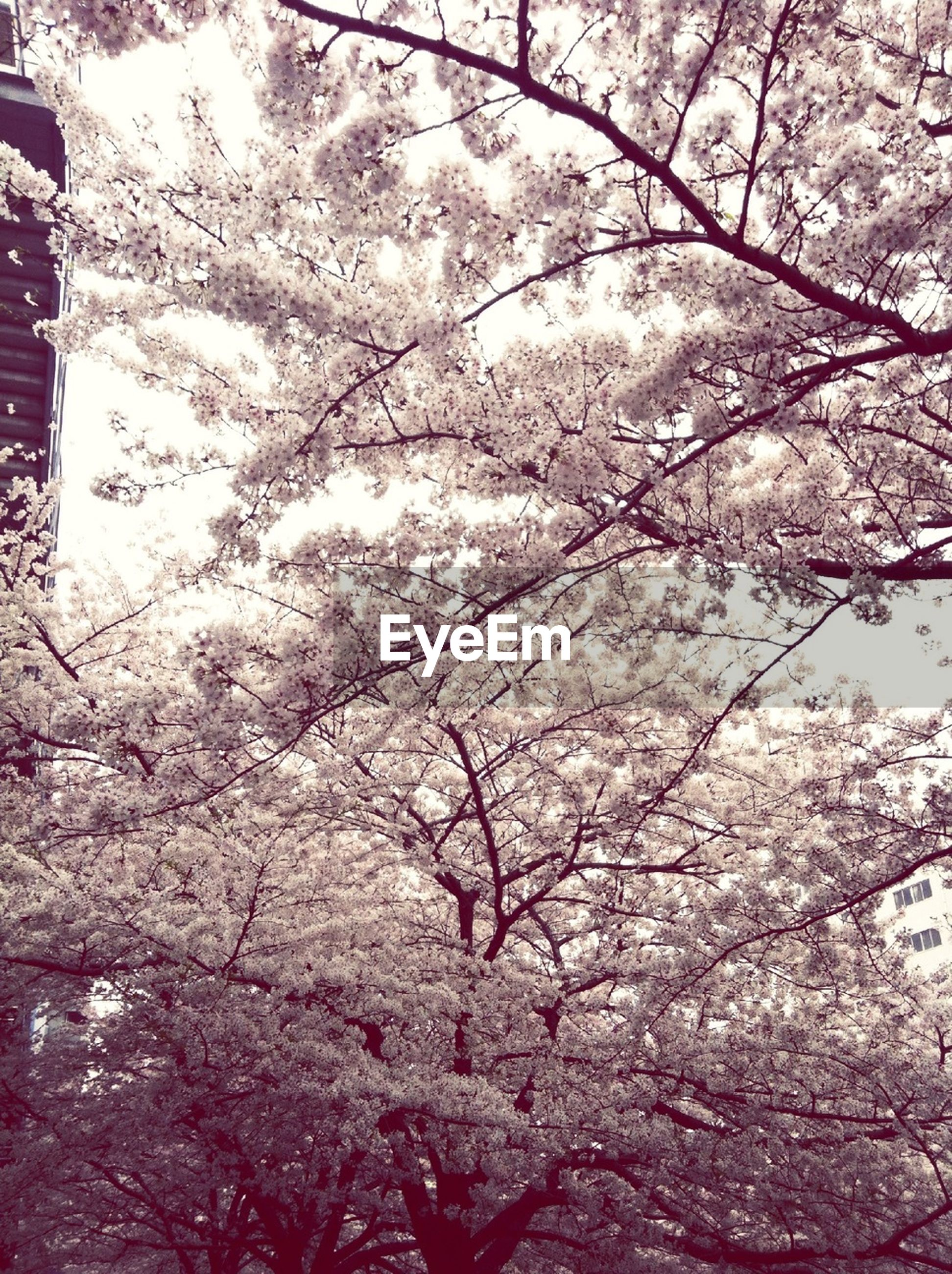 tree, branch, flower, cherry blossom, growth, freshness, beauty in nature, low angle view, cherry tree, blossom, pink color, nature, fragility, springtime, in bloom, fruit tree, season, day, sky, outdoors